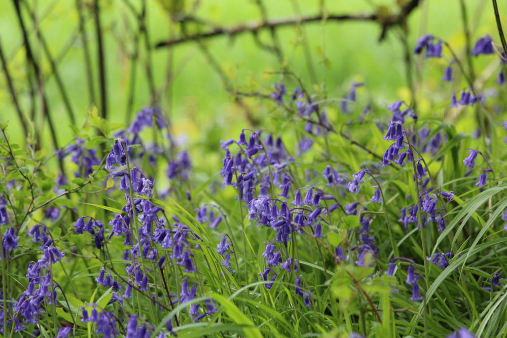 Spring walk: South Downs lambs and bluebells - Travel with Penelope & Parker